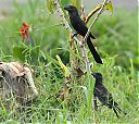 Smooth-billed_Ani_with_young.jpg