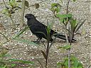 smooth_billed_ani2.jpg