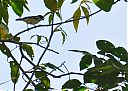 Wing-barred_Seedeater.jpg