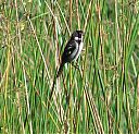 Wing-barred_Seedeater_reed.jpg