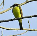 Boat-billed_Flycatcher.jpg