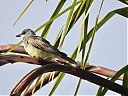Cassins_kingbird_-_Cassins_koningstiran_1.jpg