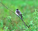 Fork-tailed_Flycatcher_perched.jpg