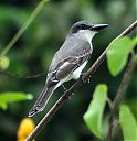 Grey_Kingbird~0.jpg