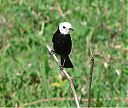 White-headed_Marsh-Tyrant_Male.jpg