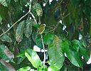 Yellow-breasted_Flycatcher.jpg