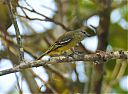 Yellow-crowned_Elaenia.jpg