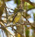 Yellow-crowned_Elaenia_3.jpg