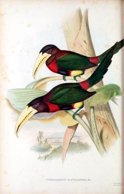 yellow-billed aracari