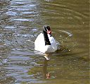 black-necked_swan_artis.jpg