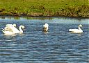 mute_swans_with_bewicki.jpg