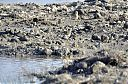 Golden_Plover_Thick_knee_and_lapwings.jpg