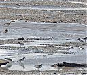Semipalmated_Plovers_with_Collared_Plover_up_front.jpg