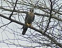 red-necked_falcon~0.jpg