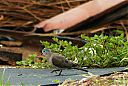 Blue-spotted_Wood-Dove.jpg