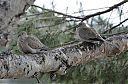 Collared_Doves.jpg