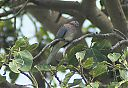 bruces_green_pigeon2.jpg