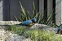 Blue-throated_Macaw.jpg