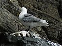 Black-legged_Kittiwake.jpg