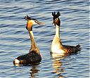 Great_Crested_Grebe_courting.jpg