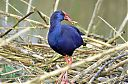 Purple_Gallinule_with_carrot.jpg