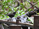 black_laughingthrush~0.JPG