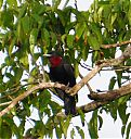 Purple-throated_Fruitcrow.jpg