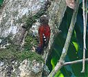 Blood-colored_Woodpecker_2.jpg
