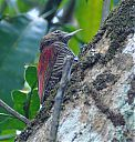 blood-colored_woodpecker.jpg