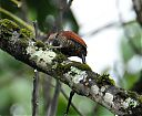 blood-colored_woodpecker2.jpg