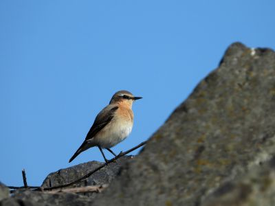 Tapuit. Northern Wheatear, Oenanthe oenanthe