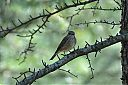 Spotted_Flycatcher_front.jpg