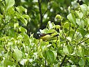 green-tailed_sunbird~0.JPG